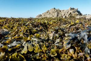 Algues Laisse de mer